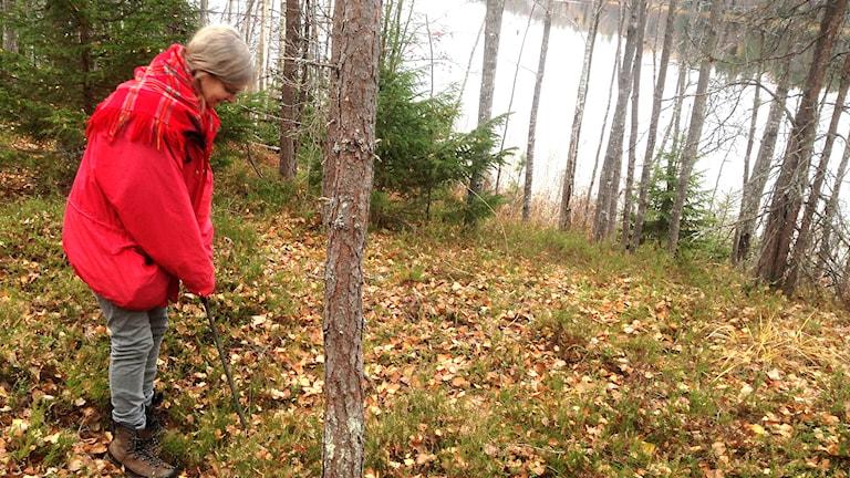 Gunilla Larsson undersöker samisk boplats vid Järvsjön, Söderhamns kommun. Foto: Jörgen Heikki, SR Sameradion & SVT Sápmi.