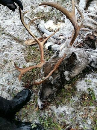 Tjuvskjuta renar har hittas i Snierra utanför Arjeplog. Foto: Privat