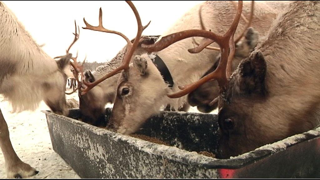 Renar matas med foder. Foto: Marit Kuhmunen Blom/ Sameradion & SVT Sápmi