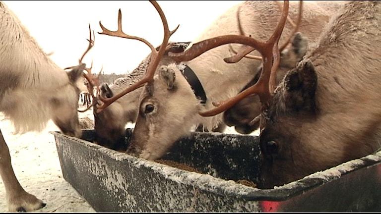 Renar matas med foder utan palmolja. Foto: Marit Kuhmunen Blom/ Sameradion & SVT Sápmi