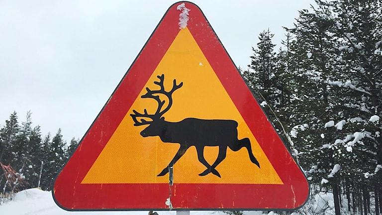 Vägskylt som varnar för renar vid vägen.
