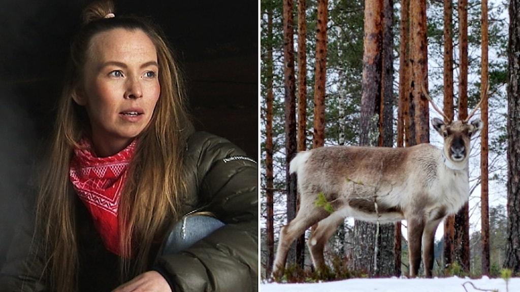 Sofia Jannok och ren på tallhed.