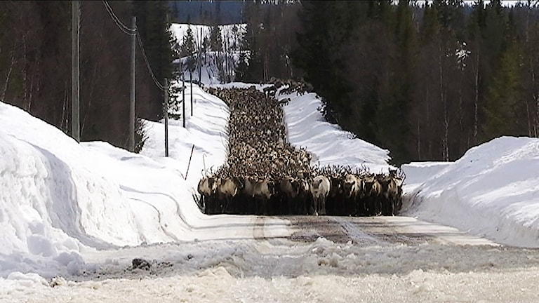 Ohredahke sameby flyttar sina renar till fjälls