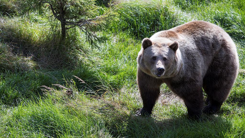 björnjakt, björn, brunbjörn