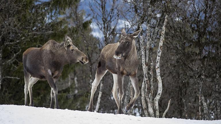 Elg på Langedrag.