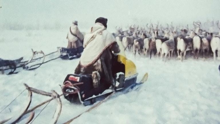Renflytt från SVT:s arkiv: Arkivfilmen Nordens nomader från 1972.