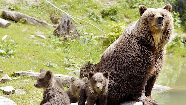 Brunbjörn med ungar