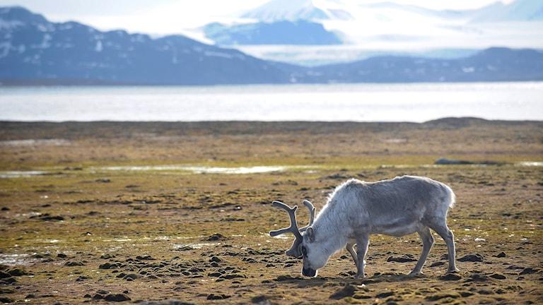 Ren på Svalbard.