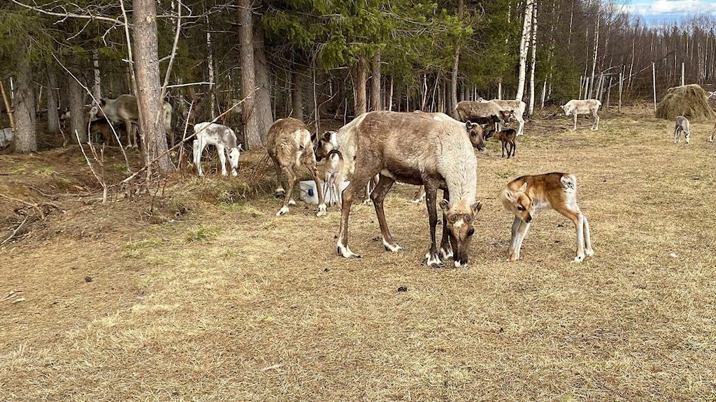 Vaja och kalv i Muonio sameby.