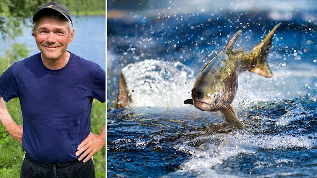 Bildkollage. Till vänster. Tore Peuravaara står med keps och blå t-shirt och har ett vattendrag i bakgrunden. Till höger: En vild lax hoppar upp ur vattnet i en fors. Foto: Ahti Aasa/Meänraatio och Hector Amexcua/AP/TT