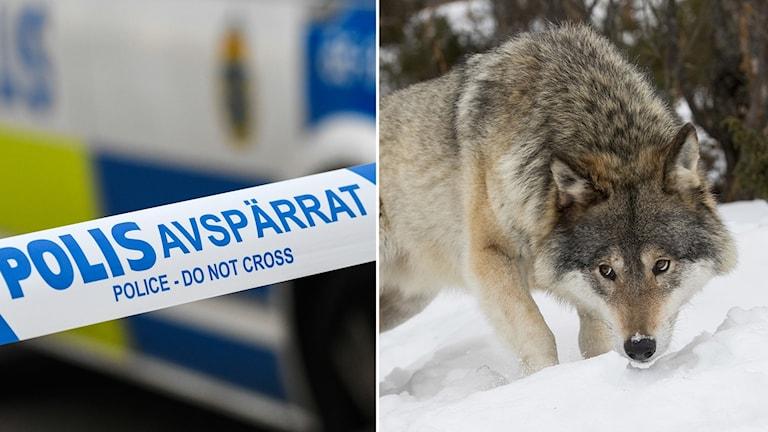 En polisavspärrning och en varg.