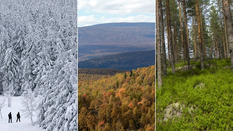 Tredelad bild: Granskog i vinterskrud, fjällskog i höstfärger och tallskog med grönt lingonris.