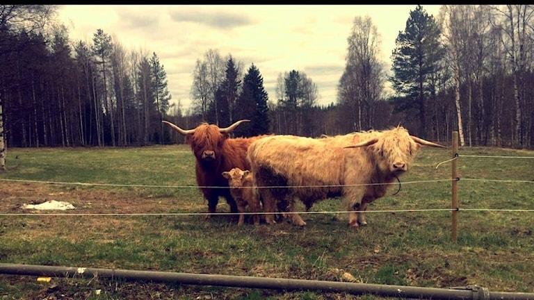 Dräktiga kossan Alva, Britta, Tjuren Håkan och kalven Ingemar som egentligen är en tjej är på rymmen Foto: Susanne Larsson