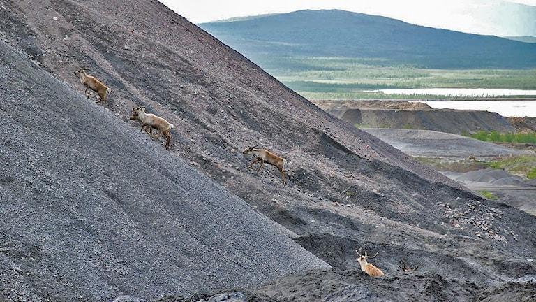 Renar på LKAB:s gruvområde i Kiruna