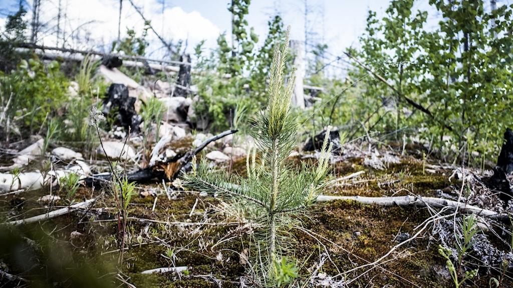 Branden i Västmanland  2014 var förödande stor. Men stora delar av växtligheten har återhämtat sig.