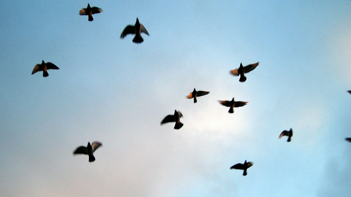 Fåglar.