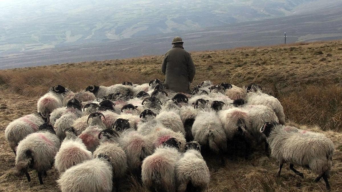 herde med får
