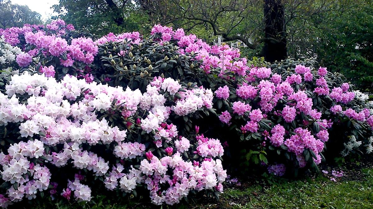 Rhododendron i Humlegården. Foto: Ann Persson / Sveriges Radio