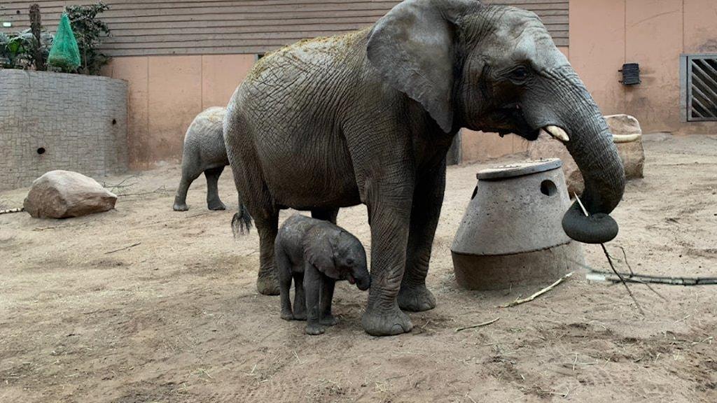 Elefanter på Borås djurpark