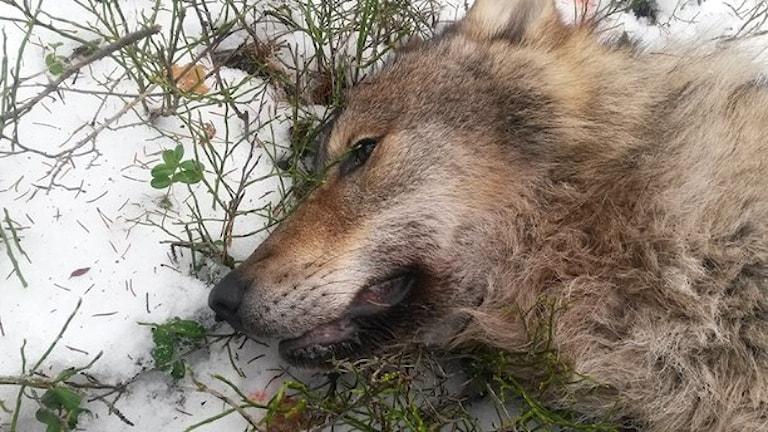 یک گرگ که در ۱۸ ژانویه در Gårdsjöreviret شکار شدهاست  Foto: Gunnar Glöersen/Jägareförbundet.