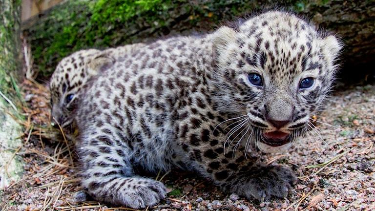 I mitten av juni föddes två persiska leopardungar. Det är de första ungarna som fötts i Sverige.