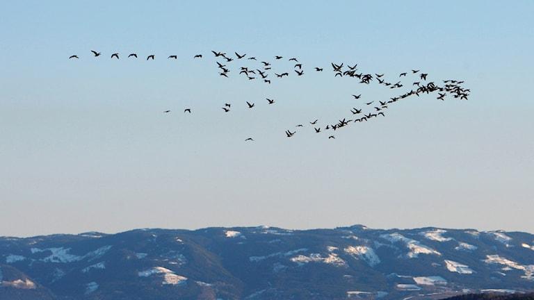 أسراب الطيور المهاجرة