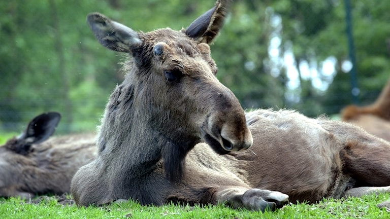 حيوانات الأيائل في جنوب السويد
