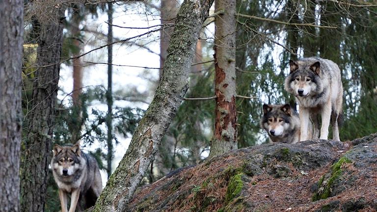 ذئاب في حديقة Kolmården للحيوانات.