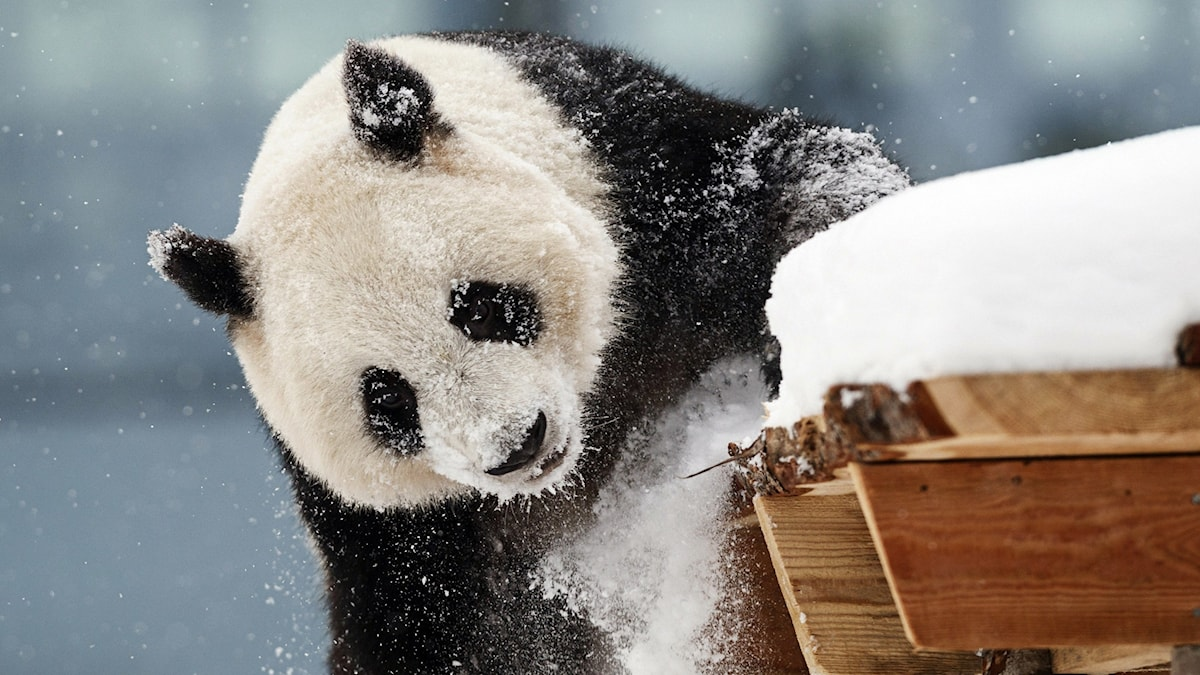 Pandakarhu