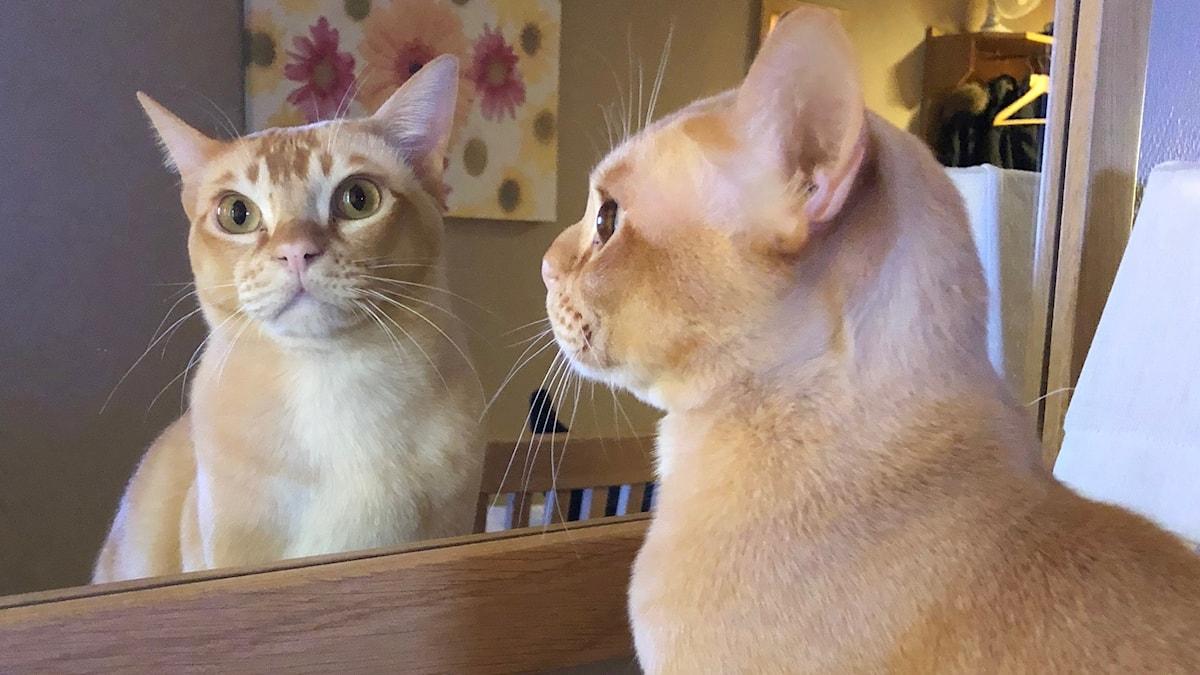 Kissa peilissä