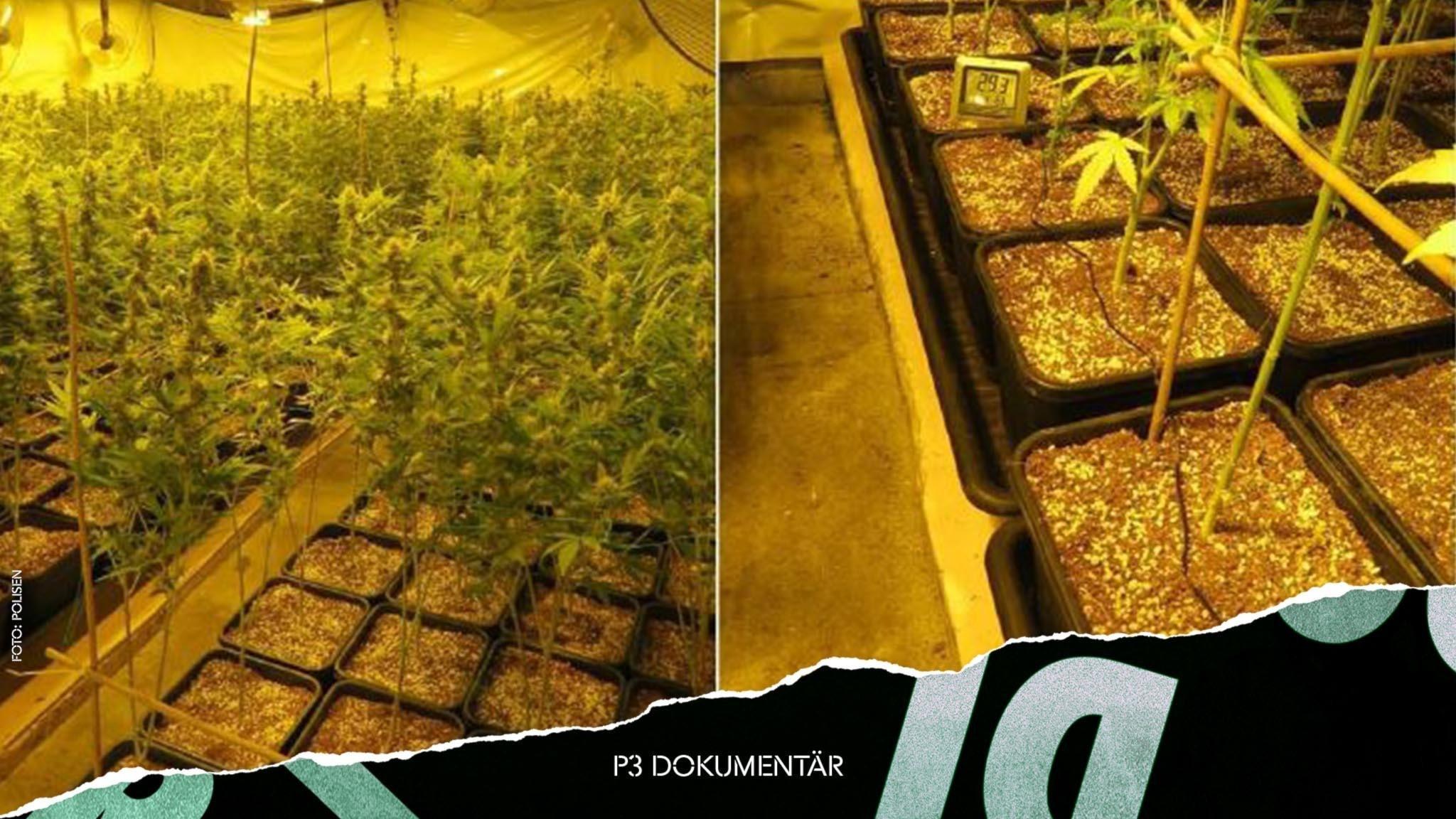 Bild inifrån cannabisodlingen på Västgöraslätten. Tusentals plantor.