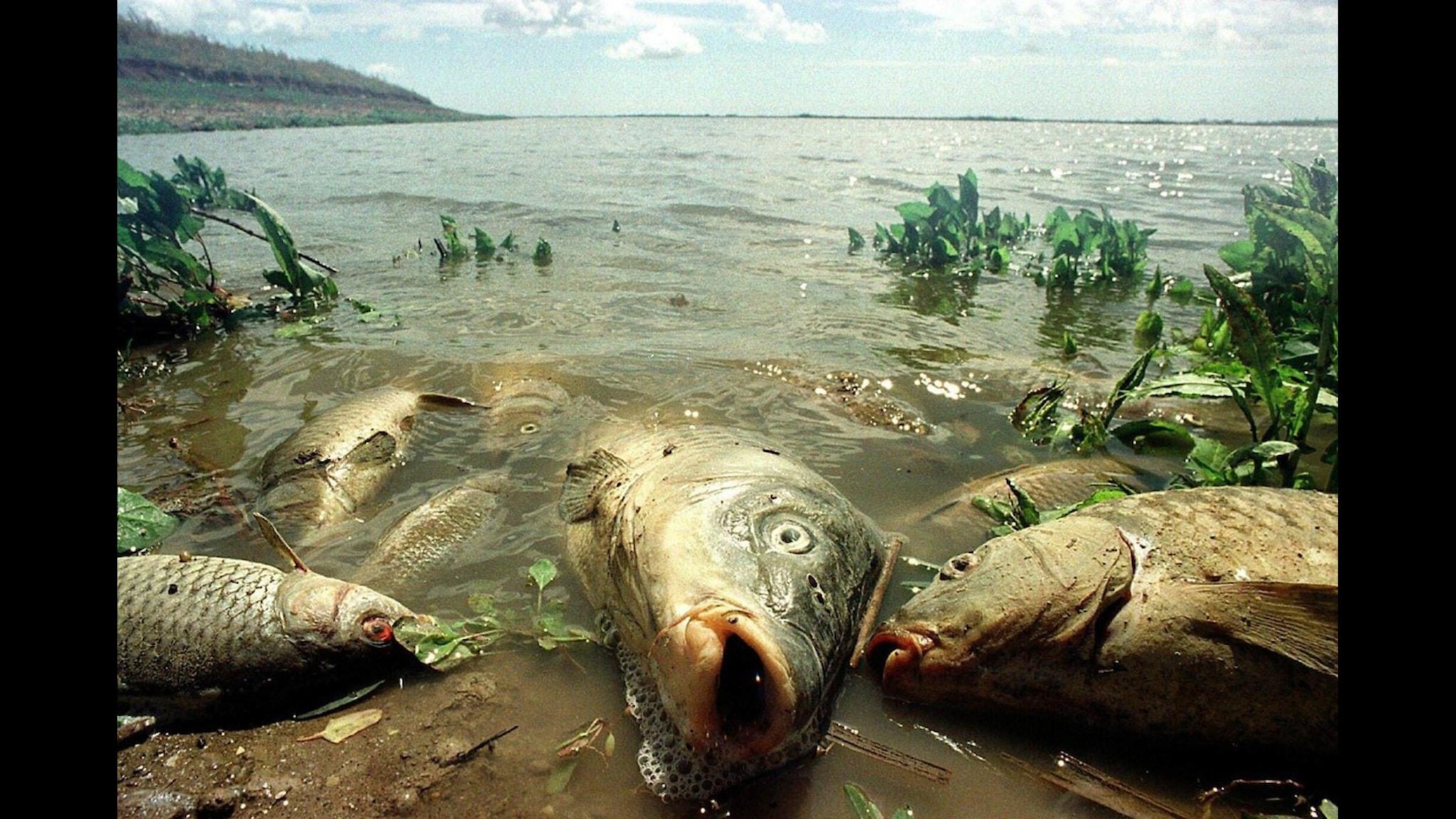 Döda fiskar i Guadalquivirfloden efter utsläppet. Foto: Scanpix