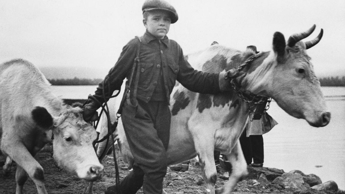 Lapset ajoivat karjaa SVT Bild