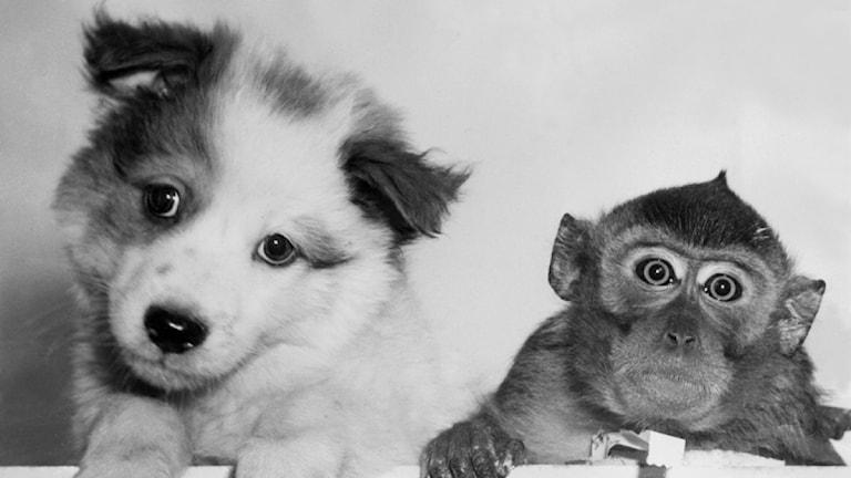 En hundvalp och liten apa tittar in i kameran med bedjande blickar. SVT Bild