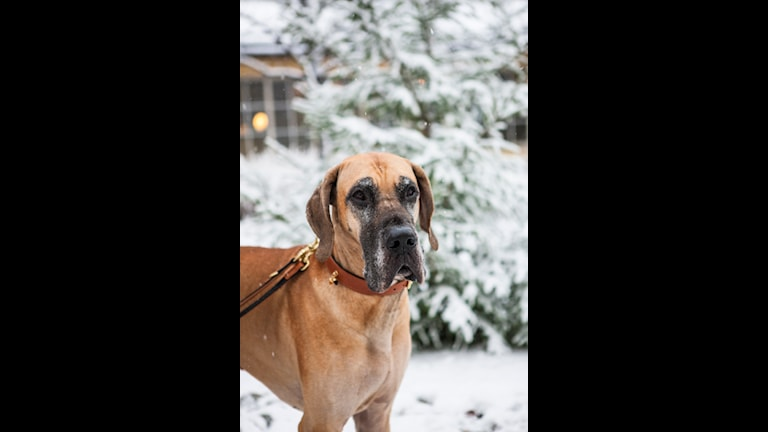 Hund, Big Ben, Lucia