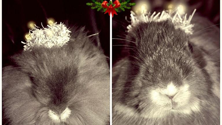Kaniner kan också fira lucia. Foto: Anneli Bengtsson