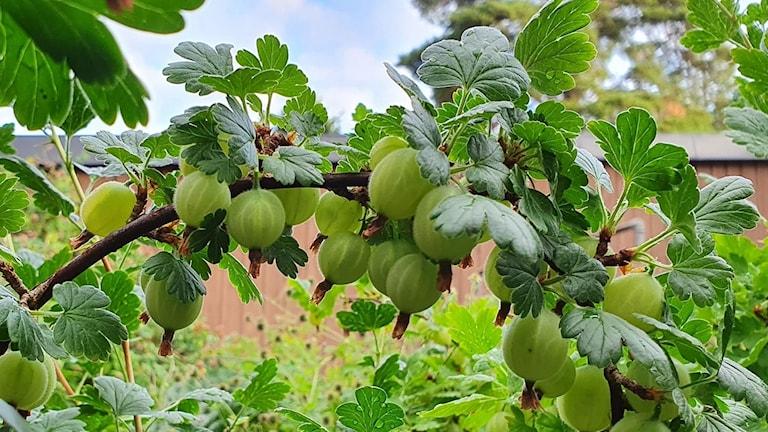 Gröna krusbär på kvist med blad