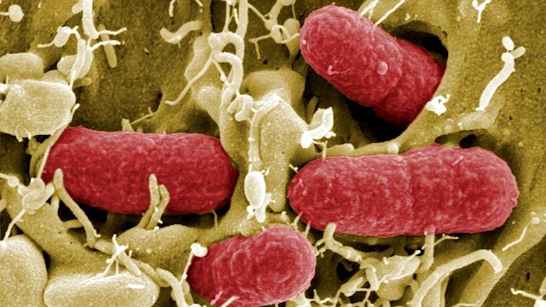 Bild av ehec-bakterier i ett mikroskop.
