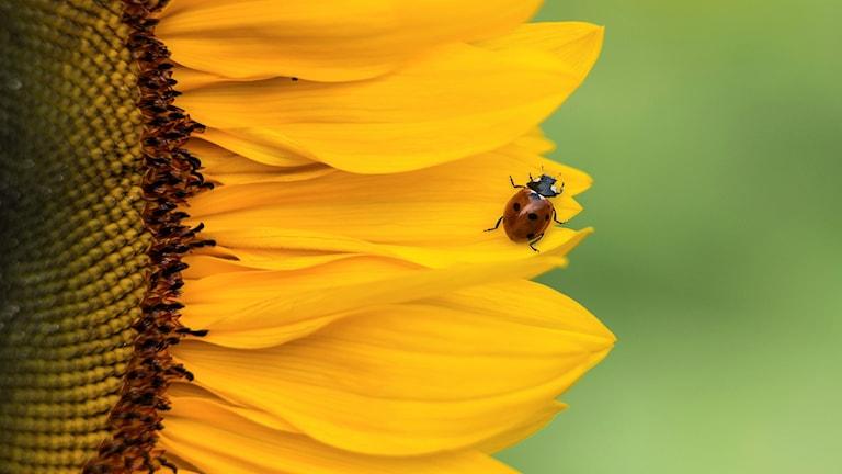 Nyckelpigan är en bevingad insekt