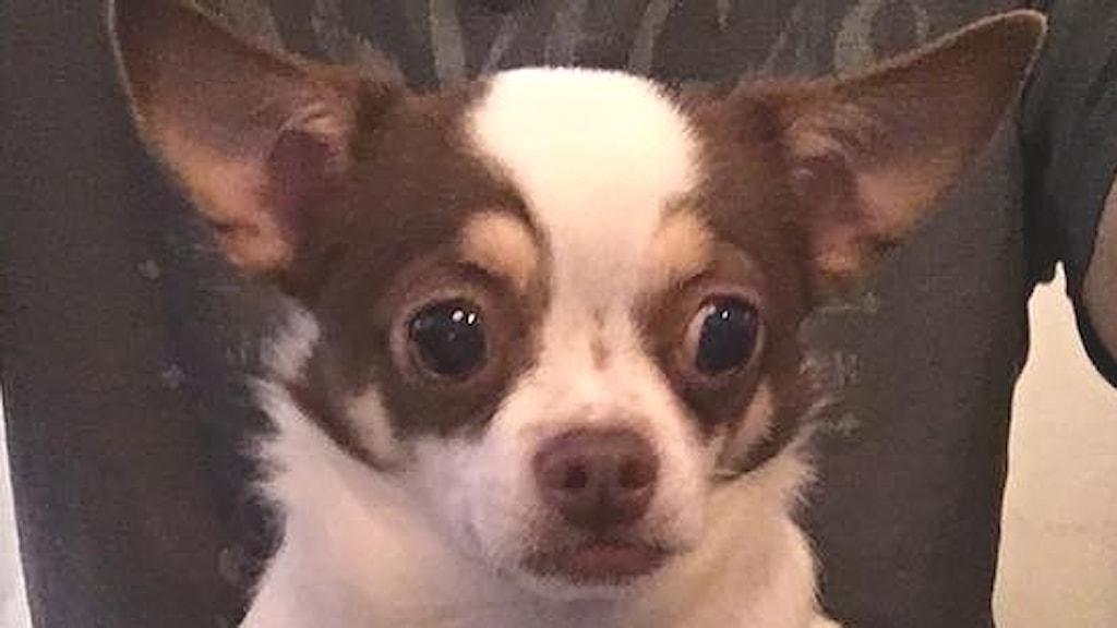 Chihuahuan Bobo