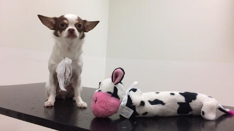 Chihuahuan Bobo Bus och hans gosiga ko.