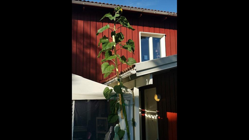 Per-Erik Gunnarssons solros i Umeå är 4,2 meter