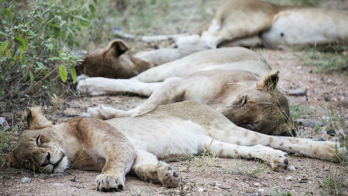 Sovande lejon.