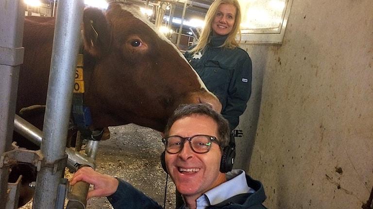 I ladugården med en ko