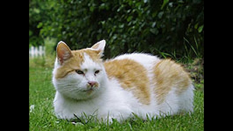Katt i gröngräset. SVT Bild