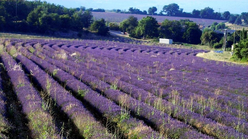 Lavendel och resor