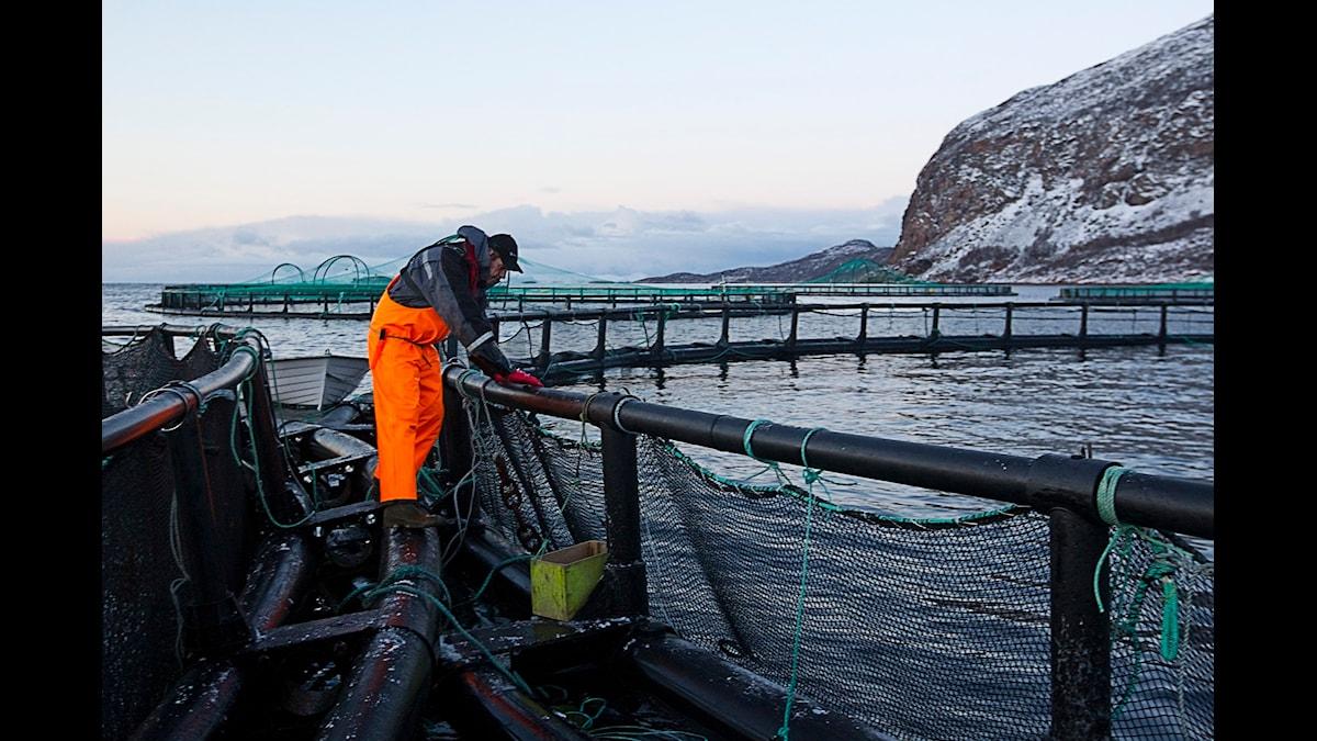 Norsk laxodling