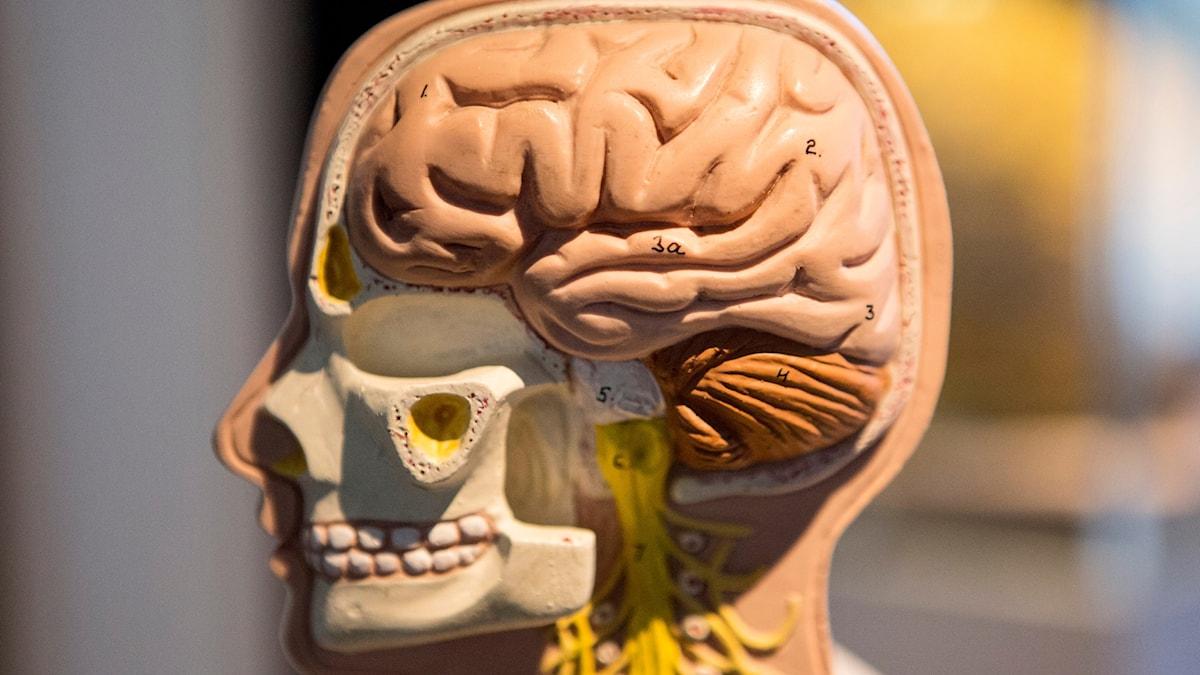 Bild på hjärna