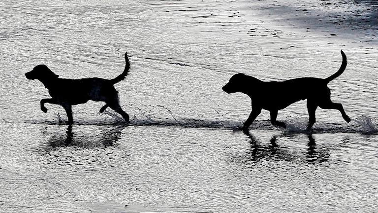 Hundar i vatten