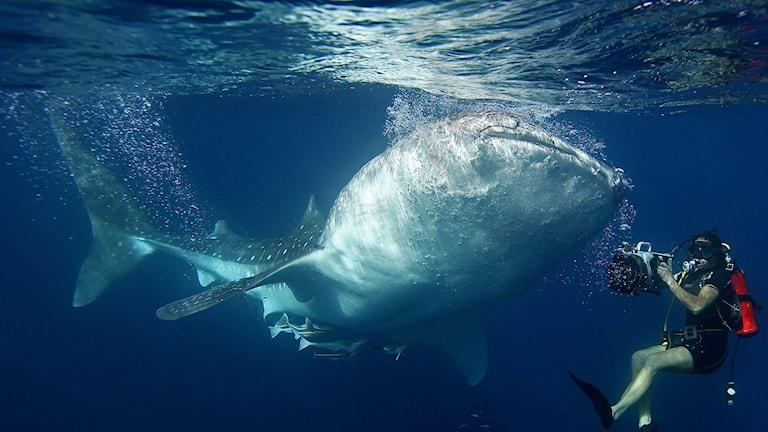Bild på dykare och haj.